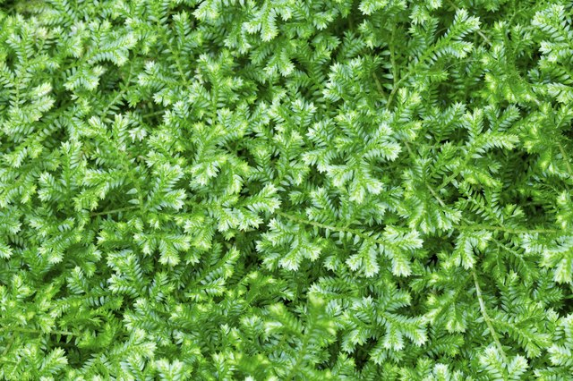 how to care for frosty fern plants hunker. Black Bedroom Furniture Sets. Home Design Ideas