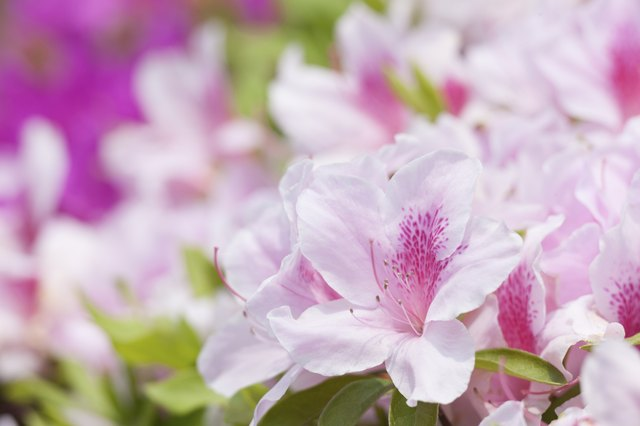 Flower of azalea