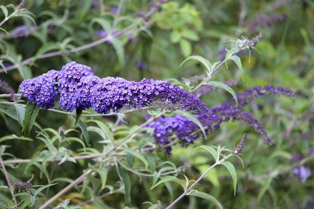 Image of wild purple buddleia flowers (Buddleja davidii), butterfly bush
