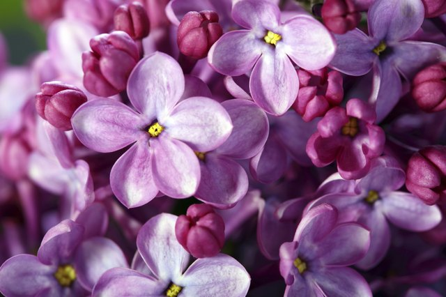 What flowers have 5 petals hunker lilac flowers close up mightylinksfo