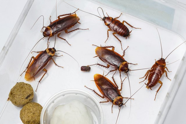 What Are The Little Brown Bugs That Are Found On Kitchen Counters - How to get rid of cockroaches in kitchen cabinets