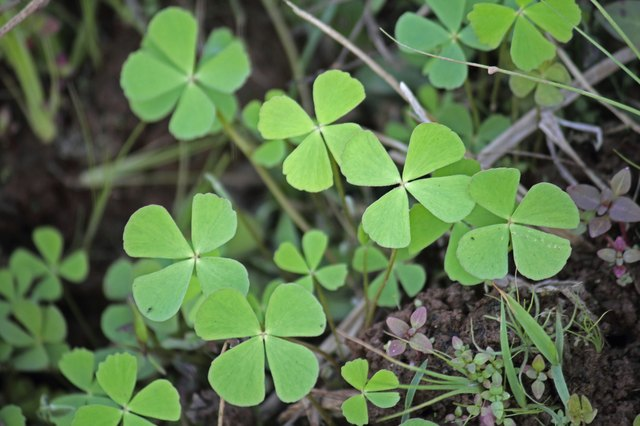 Lawn weed with a clover leaf small yellow flower hunker creeping wood sorrel creeping oxalis oxalis corniculata mightylinksfo