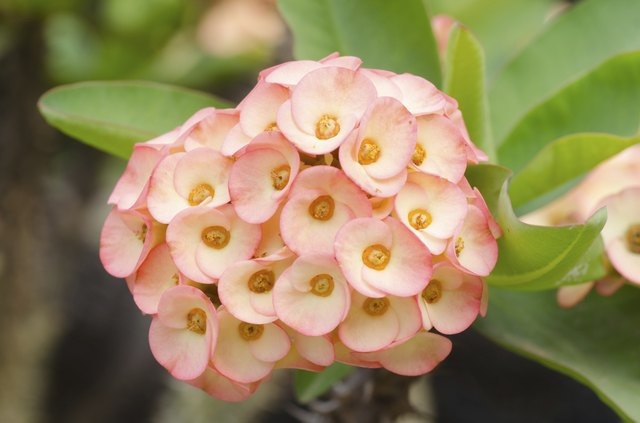 Crown of Thorns Plant Care | Hunker