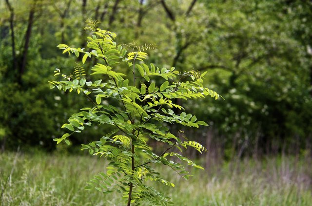 Young locust tree in spring