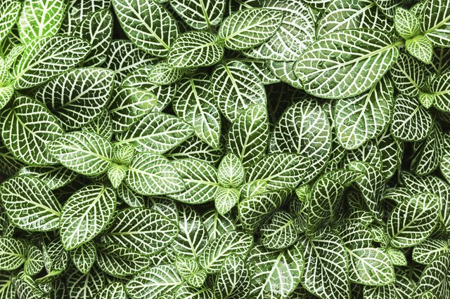striped leaf ornamental plants close up