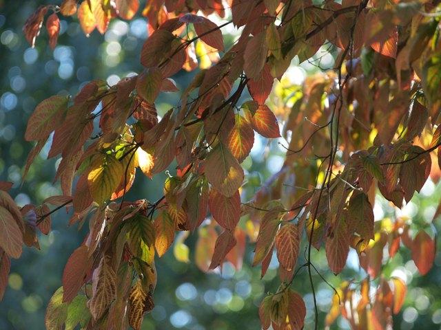 Vivid Dogwood Foliage in Autumn