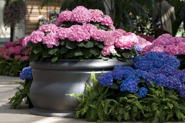 How to Plant Hydrangeas in Pots   Hunker