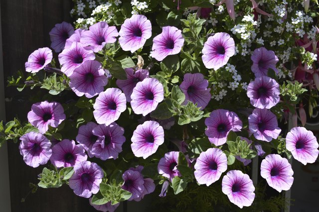 Petunia grandiflora flowers in summer