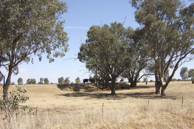 Australia, Cattle in Drought