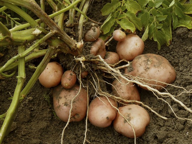 How to Plant Potatoes in Pennsylvania | Hunker