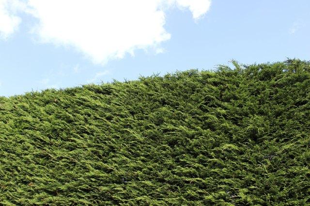 Image of tall Leyland cypress / Cupressus Leylandii hedge in garden