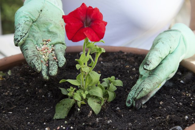 Fertilizing Petunia Flower