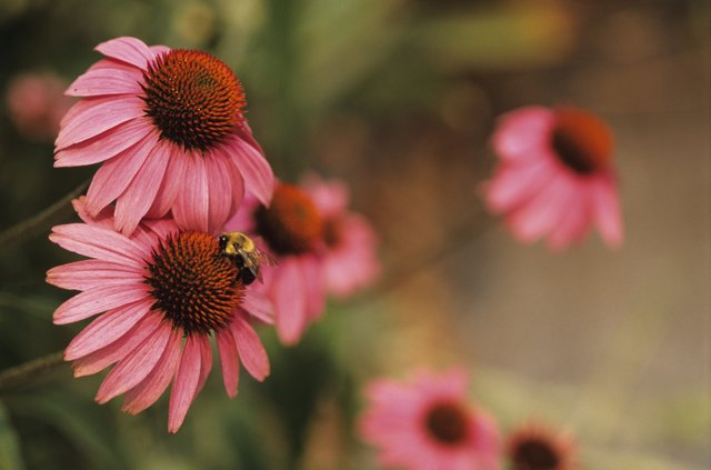 Purple coneflower (Magus Echinacea Purpurea) and Bee, close-up