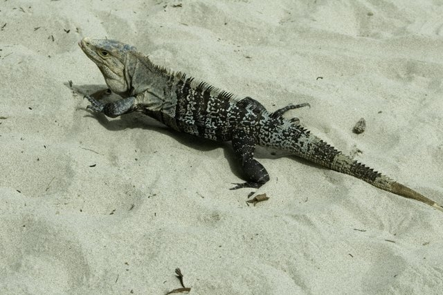Iguana in desert, elevated view