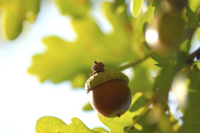 Close-up of an acorn on an oak tree