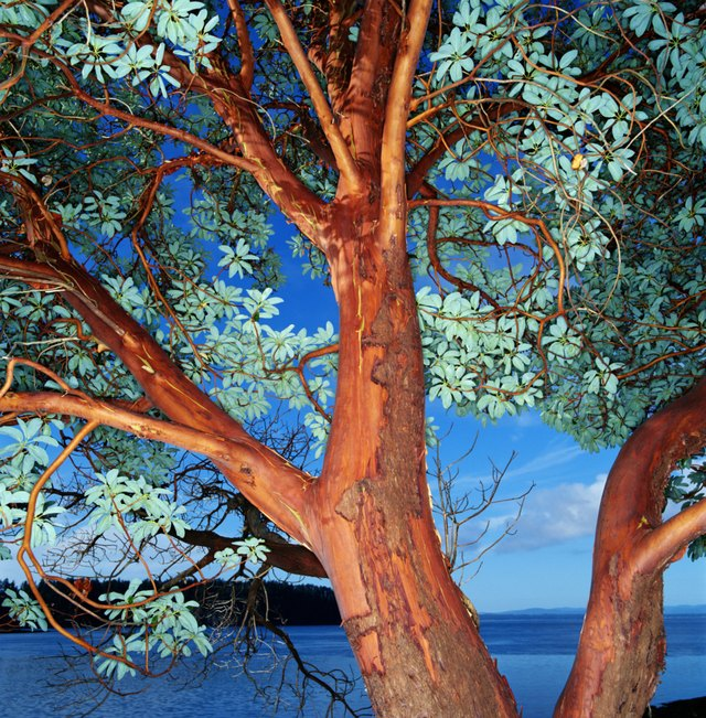 Madrona (Arbutus sp.) tree, close-up, Washington, USA