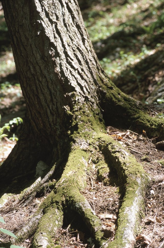 How To Cut Tree Roots Without Killing The Tree Hunker