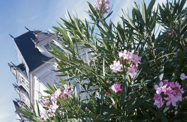Exterior of mansion with blooming oleander