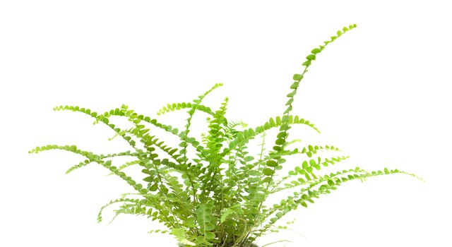small maidenhair fern isolated