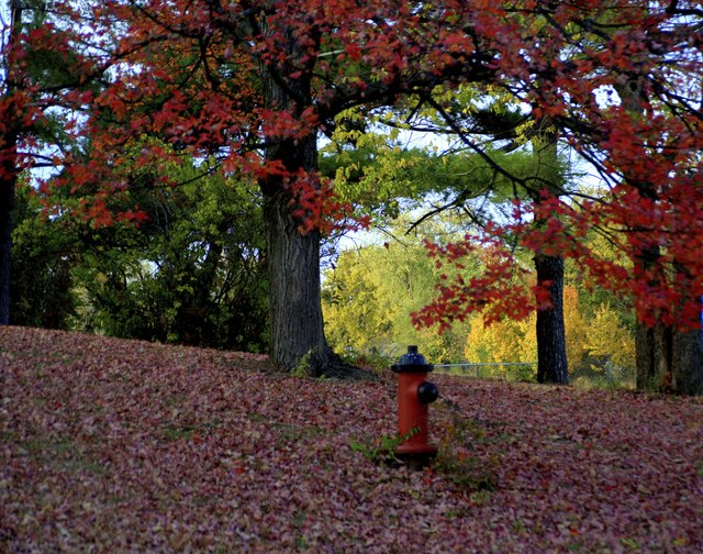 Fire hydrant sits among a field of maple trees