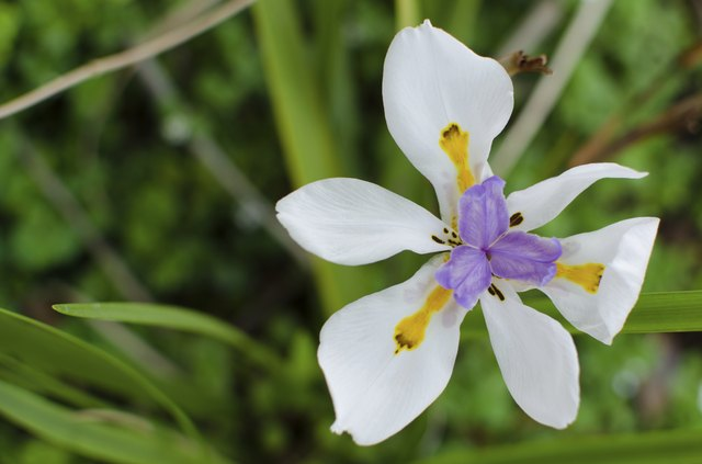 Dietes Grandiflora (Wild Iris)