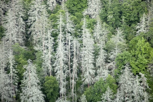 Eastern Hemlocks dead in Appalachians