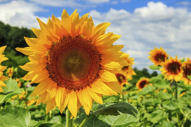 sunflower yellow head on a background of blue sky