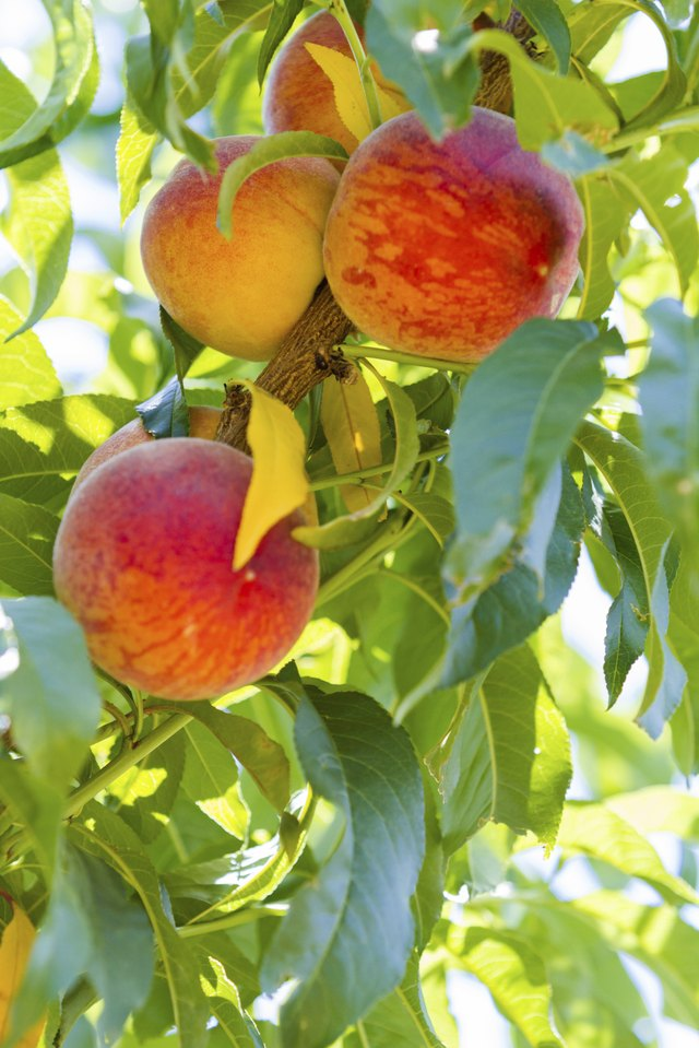 How to Take Care of Peach Trees | Hunker