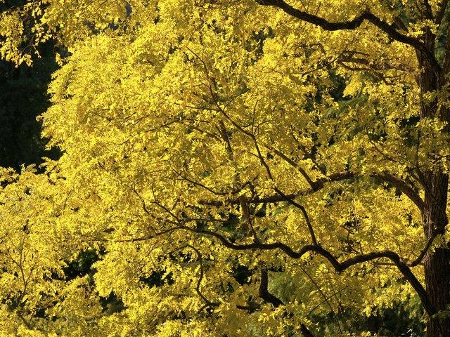 Golden Locust Tree