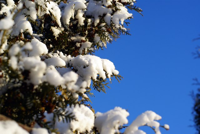 evergreen thuja branches with snow