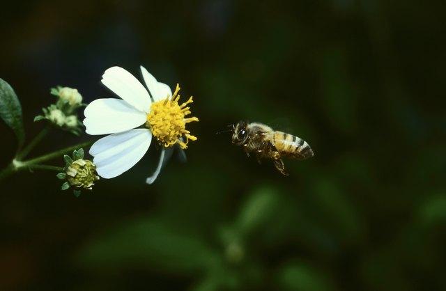 Honeybee approaching flower