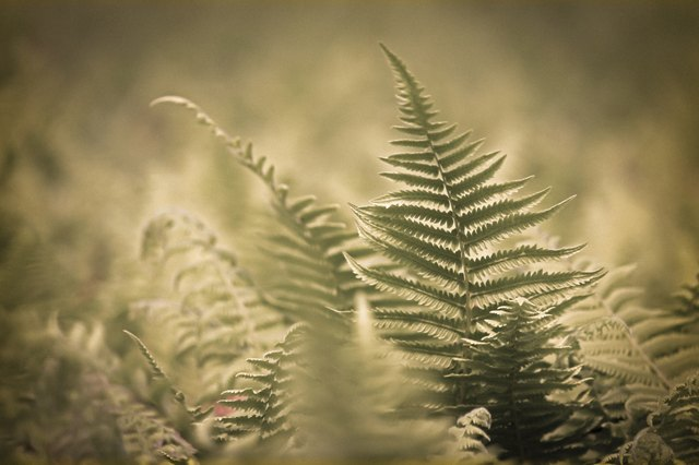 Autumn Fern, Japanese Wood Fern or Copper Shield Fern (Dryopteri