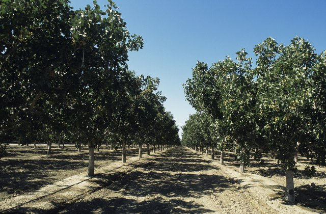 Pistachio orchard, late Spring