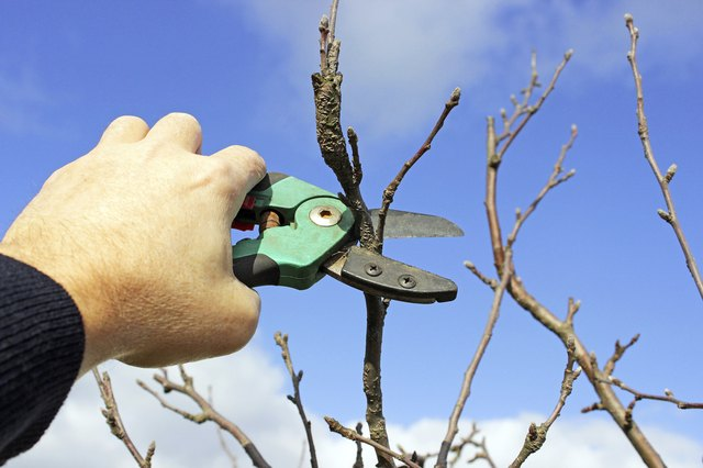 pruning apple tree in the early spring