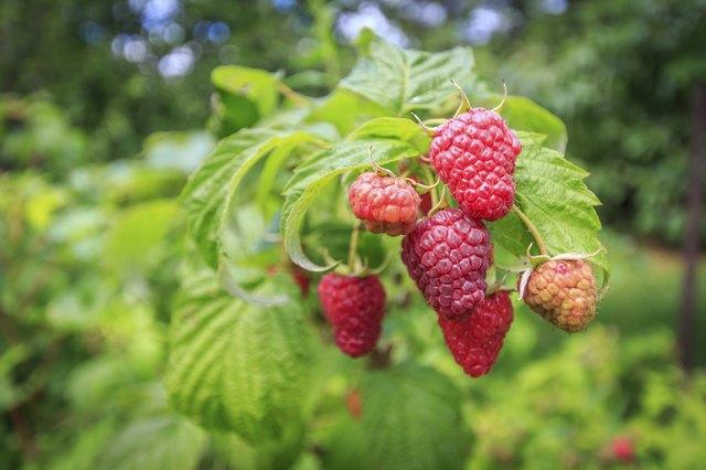 Fresh raspberry fruits growing on a bush.