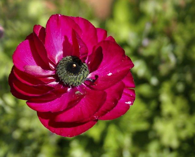 Ranunculus flower pink