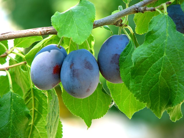 Plums in Orchard