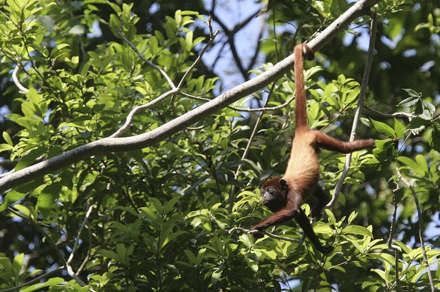 Howler monkey hanging by the tail, Colombia