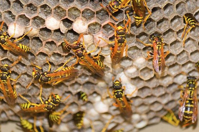 Wasp Nest - Vespula Germanica