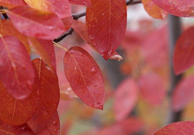 Crimson Serviceberry Leaves