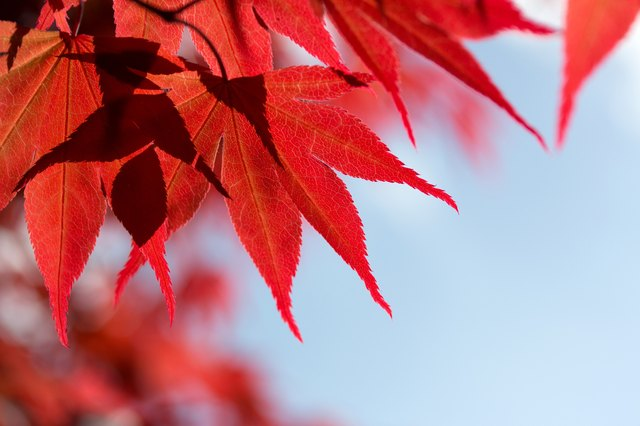 What Trees Have Red Leaves? | Hunker