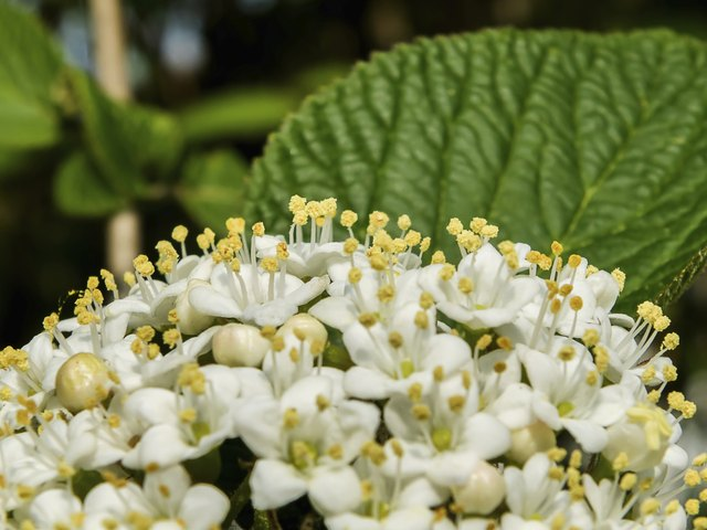 Flowers that look like hydrangeas hunker red flower clusters beautiful white ixora flower mightylinksfo