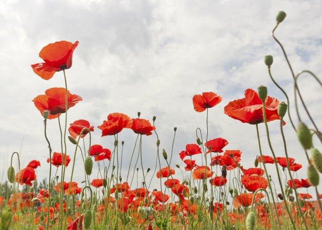 Types of italian flowers hunker papaveri mightylinksfo