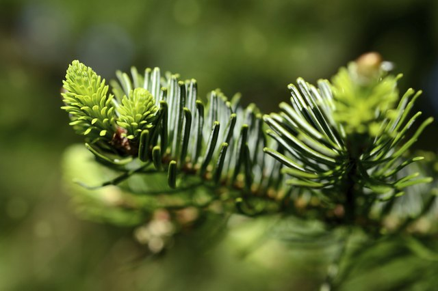 Young pine branch