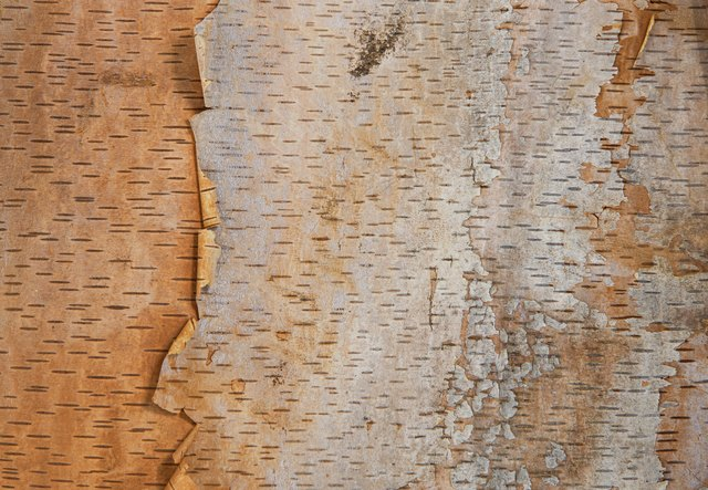 Birch tree bark texture background