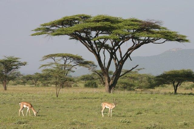 """Impala, Antelope, Aepyceros melampus in front of Acacia, African"""