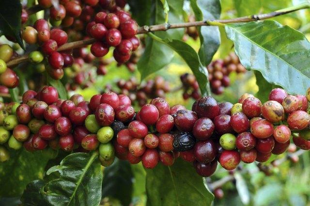 crop of coffee