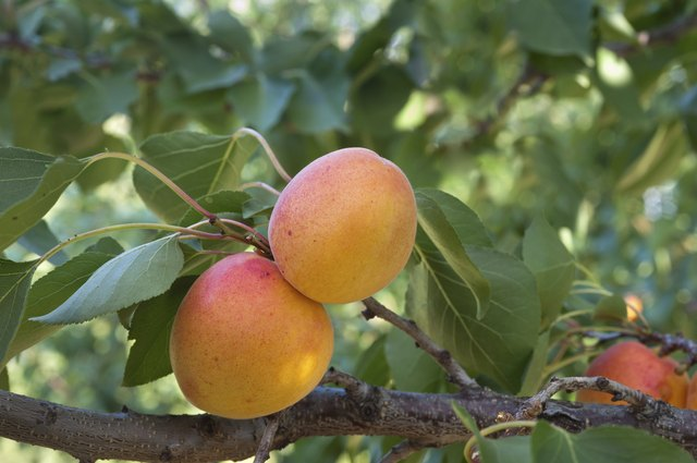 Ripe apricot fruits on a branch