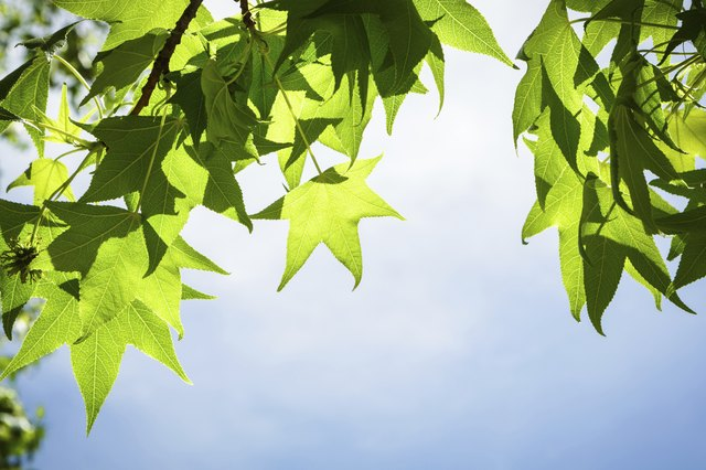 Spring Sweetgum Leaves on Branch against Blue Sky