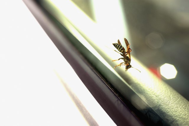 Close-up of flying wasp